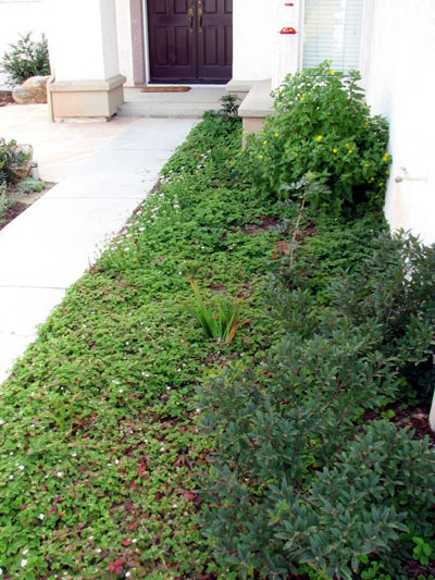 Groundcover at Entryway