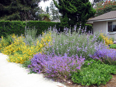 Colorful Natives, Penstemons and sage - Color In California Native Landscapes