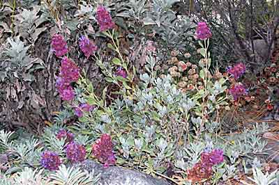 Favorite california native plants small in size about 2 to 3 feet salvia pachyphylla or desert sage is extremely drought resistant with fragrant purple flowers and pink bracts mightylinksfo Image collections