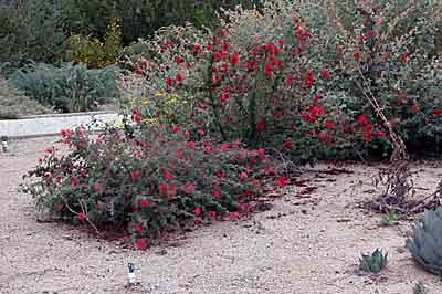 Favorite california native plants small in size about 2 to 3 feet salvia pachyphylla or desert sage is extremely drought resistant with fragrant purple flowers and pink bracts mightylinksfo