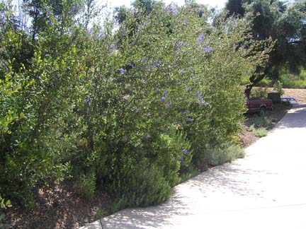 Privacy Bushes Shrubs Images Frompo