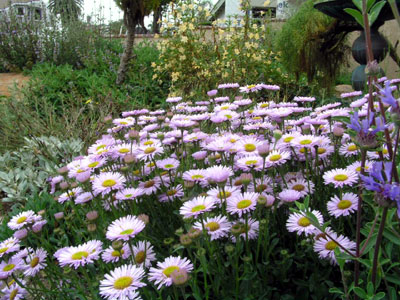 Favorite california native plants dead head the spent flowers we also mix up perennials that bloom at different times of the year so as to have color throughout the seasons mightylinksfo